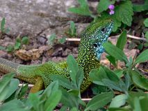 European male green lizard Royalty Free Stock Image