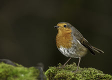 A European Male Robin Stock Photography