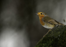 A European Male Robin Royalty Free Stock Photography