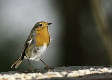 A European Male Robin Stock Photo