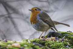 A European Male Robin Royalty Free Stock Photos
