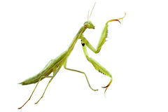 European mantis Stock Photos