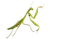 European mantis Stock Photos