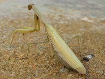 European mantis female Stock Photo