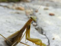 European mantis female portrait Stock Image