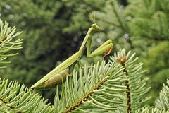 European mantis Royalty Free Stock Photos