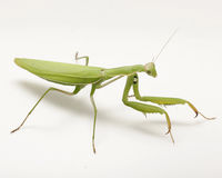 European Mantis / Mantis religiosa 03 Royalty Free Stock Images