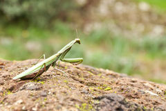European Mantis (Mantis religiosa). Stock Photography