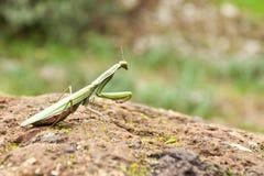 European Mantis (Mantis religiosa). Mantis religiosa on a tuff (Italy stock photography