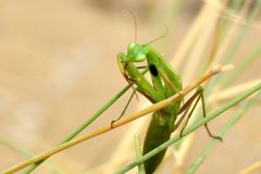 European mantis Mantis Religiosa on a dried stalk cleaning its front spiky legs. Shot in sundried grassy field near beach in Croatia Royalty Free Stock Photography