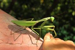 European Mantis, Mantis religiosa Stock Image