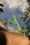 European Mantis, Mantis religiosa Royalty Free Stock Image