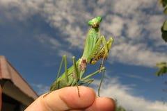 European Mantis, Mantis religiosa Royalty Free Stock Images