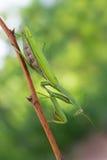 European mantis Stock Photography