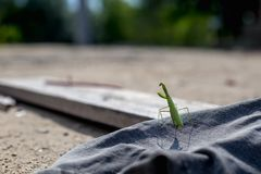 European Mantis or Praying Mantis, Mantis religiosa Royalty Free Stock Image