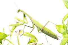 European Mantis or Praying Mantis, Mantis religiosa, on plant. I. Solated on white background Stock Photography