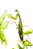 European Mantis or Praying Mantis, Mantis religiosa, on plant. I Stock Image