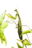 European Mantis or Praying Mantis, Mantis religiosa, on plant. I. Solated on white background Stock Image
