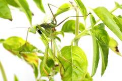 European Mantis or Praying Mantis, Mantis religiosa, on plant. I. Solated on white background Royalty Free Stock Image