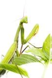 European Mantis or Praying Mantis, Mantis religiosa, on plant. I. Solated on white background Royalty Free Stock Photo