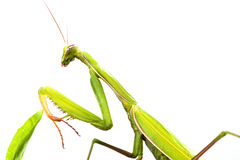 European Mantis or Praying Mantis, Mantis religiosa, on plant. I. Solated on white background Stock Photos