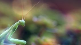 European Mantis or Praying Mantis, Mantis religiose stock video