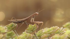 European Mantis or Praying Mantis, Mantis religiose stock video footage