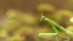 European Mantis or Praying Mantis, Mantis religiose stock footage