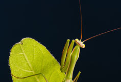 European Mantis Stock Image