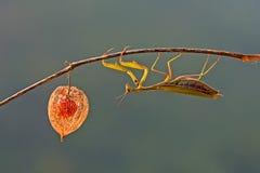 European mantis Royalty Free Stock Photos