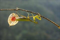 European mantis. On the tree Royalty Free Stock Photos