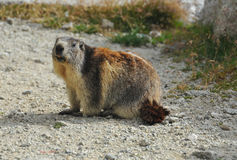 European Marmot Royalty Free Stock Photo