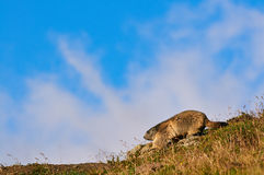 European marmot. On a lawn in the Alps Royalty Free Stock Photo