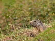 European Marmot at it´s cave Royalty Free Stock Images