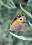 European meadow brown butterfly. Capture of a meadow brown butterfly (maniola jurtina) with a broken wing stock photo