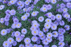 European Michaelmas Daisy  (Aster amellus) Royalty Free Stock Photography