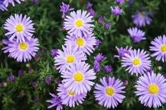 European michaelmas daisy (Aster amellus) Royalty Free Stock Photography