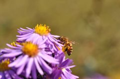 European michaelmas daisy Aster amellus. Macro detail of Purple Aster amellus flower with bee stock photo