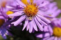 European michaelmas daisy Aster amellus. Macro detail of Purple Aster amellus flower royalty free stock photography