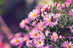 European michaelmas daisy and honey bee pollinating Royalty Free Stock Photos