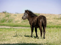European Miniature horse portrait in summer meadow Royalty Free Stock Image