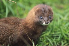 European mink Stock Images