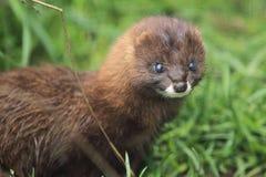 European mink stock images