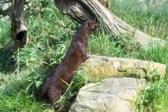 European Mink (Mustela Lutreola) Royalty Free Stock Image