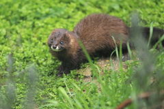 European mink Stock Photos