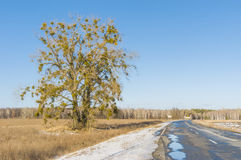 European mistletoe attached tree Royalty Free Stock Image