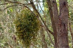 European mistletoe Royalty Free Stock Photo