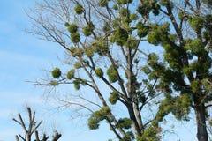 European mistletoe heavily parasitizing black poplar trees. European mistletoe, also known as common mistletoe is heavily parasitizing black poplar trees. Lots royalty free stock photography