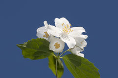 European mock orange Stock Photos
