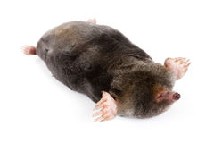 The European mole. On a white background, separately Royalty Free Stock Image